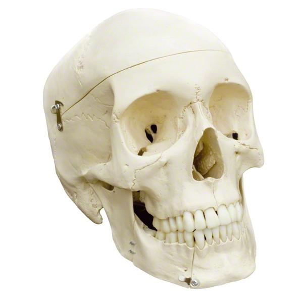 Schädel als Halloween-Deko
